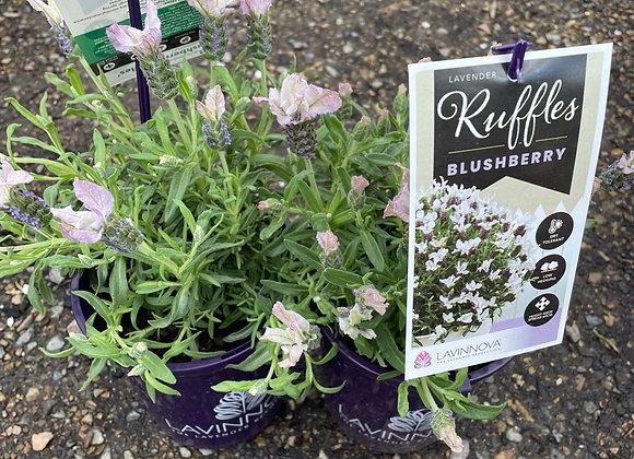 Lavender - Ruffles Blushberry 14cm pot