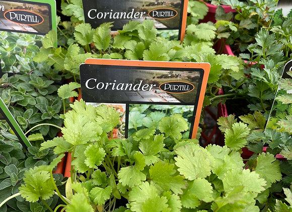 Coriander - 100mm pot