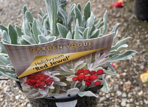 Helichrysum - Red Jewel in bud 14cm pot