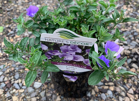 Convovulus Early Blue