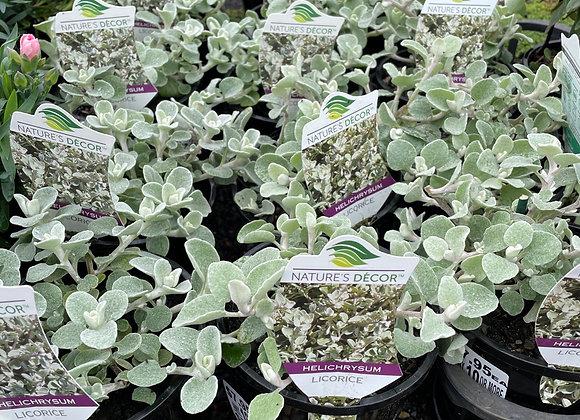 Helichrysum - Licorice