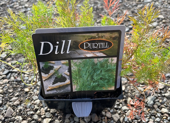 Dill - SUPER ADVANCED 200mm pot
