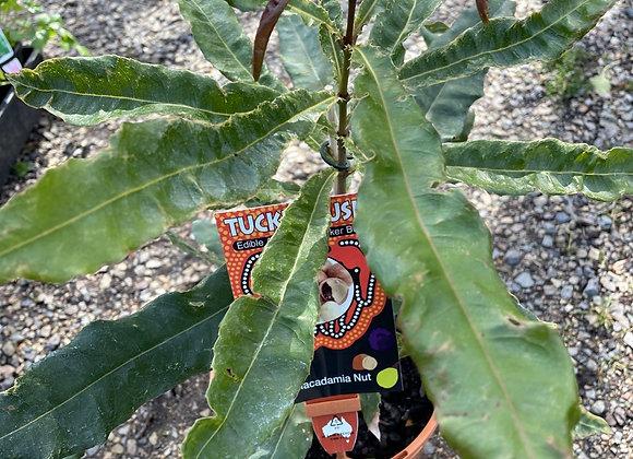 Tucker Bush -  Macadamia Nut