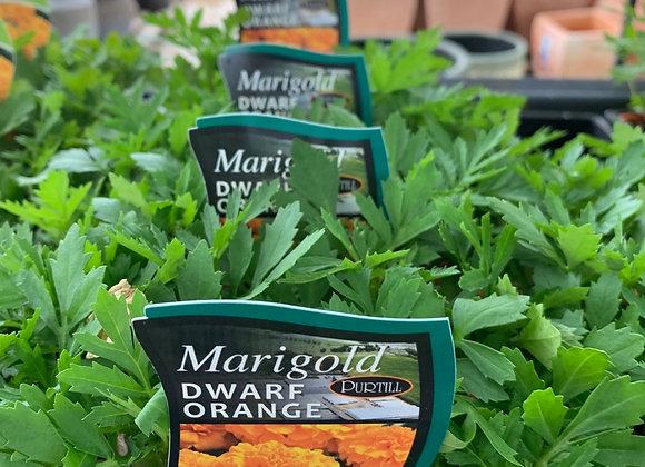 Marigold - Dwarf Orange