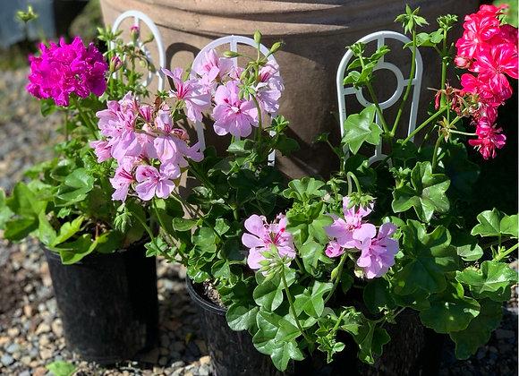 Ivy geranium three colours