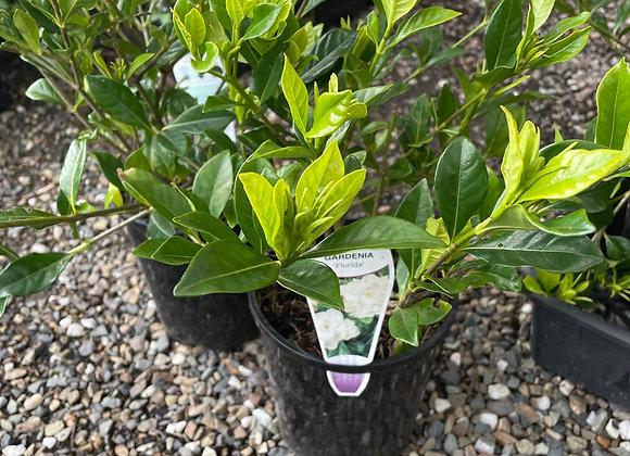 Gardenia - Florida 14cm pot