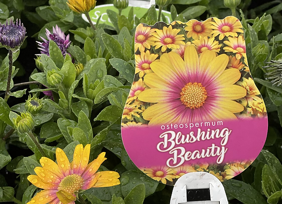 Osteospermum -  Blushing Beauty 200mm pot