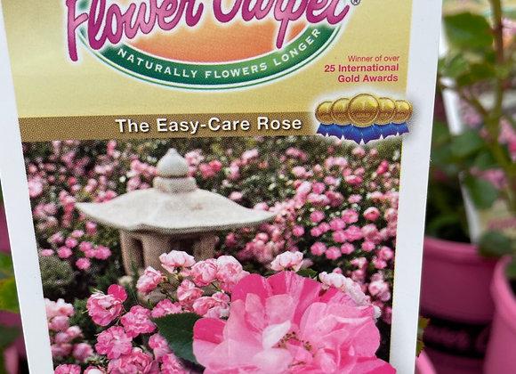 Flower Carpet Rose -  Pink Splash 14cm pot