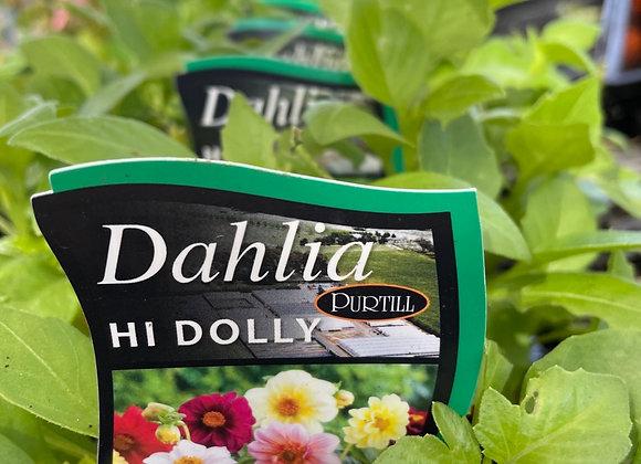 Dahlia - Hi Dolly punnet
