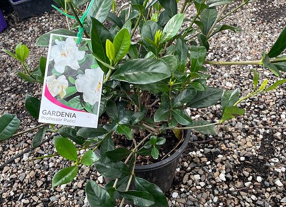 Gardenia - Professor Pucci 20cm pot