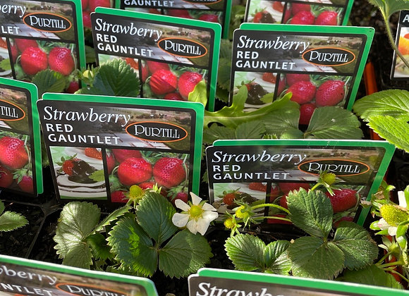 Strawberry - Red Gauntlet ADVANCED