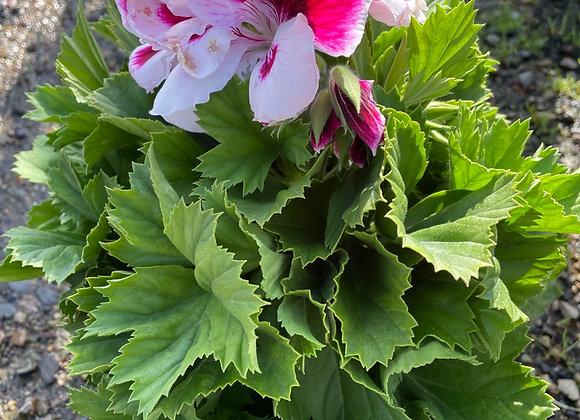 Pelargonium - Elegance Bravo 18cm pot