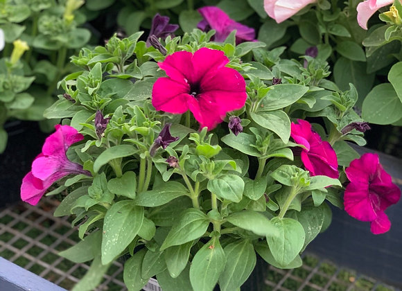 Petunias - large bloomers