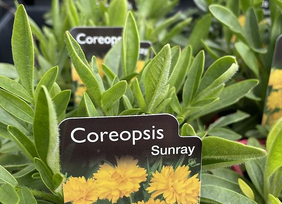 Coreopsis Sunray 100 mm pot SEMI ADVANCED