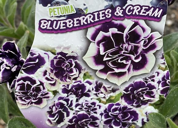 Petunia - spreading perennial BLUEBERRIES AND CREAM