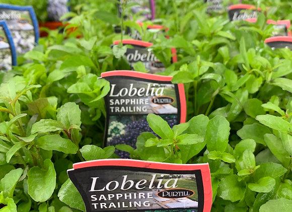 Lobelia - Sapphire Trailing punnet