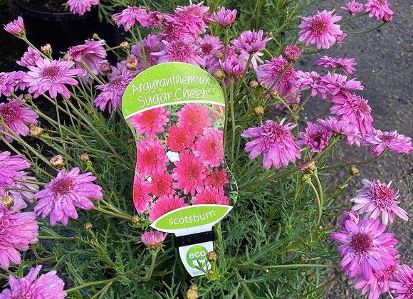 Argyranthemum - Sugar Cheer 200mm pot