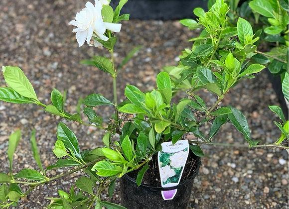 Gardenia Florida 14cm pot