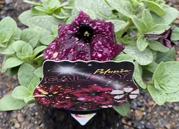 Petunia - spreading perennial GALAXY