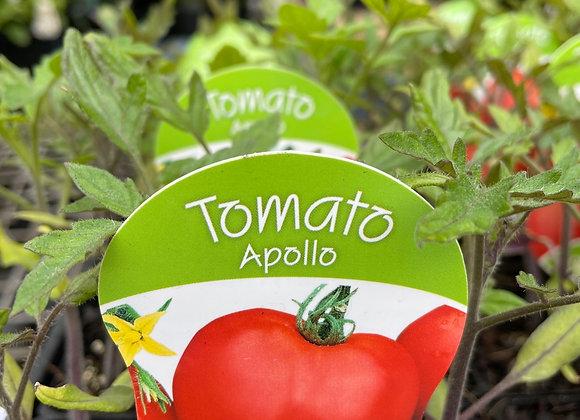 Tomato - Apollo punnet