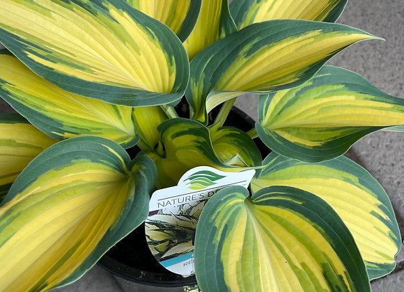 Hosta - Remember Me fresh new leaf growth 20cm pot
