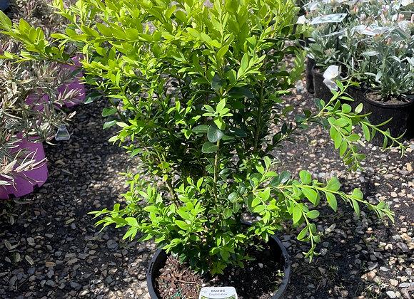 English Box - Nice bushy plants 200mm pot