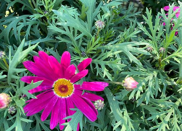 Argyranthemum - Sublime pink