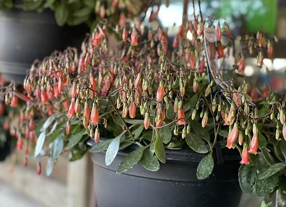 Kalanchoe - Freedom Bells finishing flowering