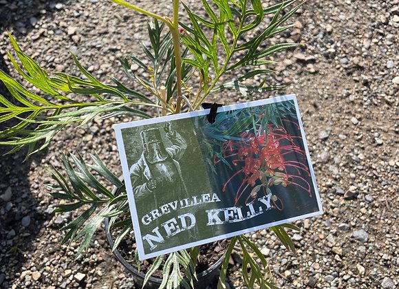 Grevillea - Ned Kelly 14cm pot