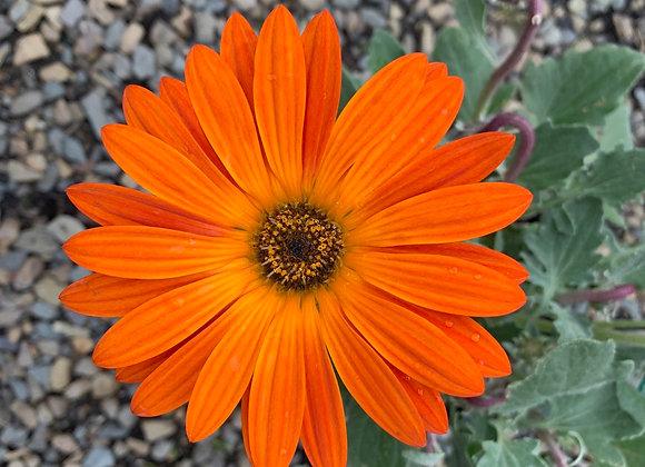 Arctotis - Orange