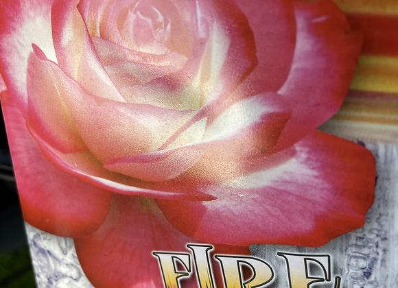 Bush Rose -  Fire and Ice 20cm pot
