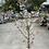Thumbnail: Prunus First Blush 30cm pot Upright Flowering Cherry