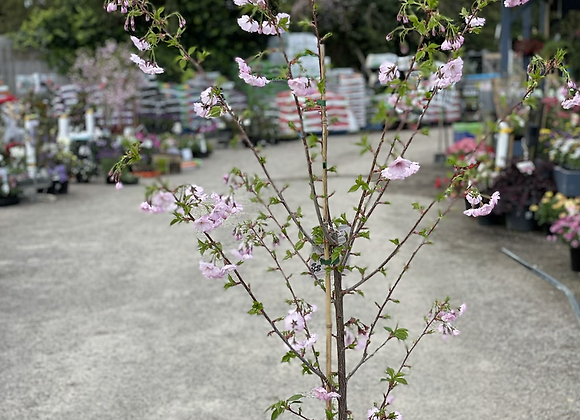 Prunus First Blush 30cm pot Upright Flowering Cherry