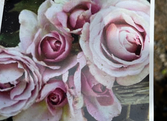 Bush Rose  - Blue Emotion DELBARD 20cm pot