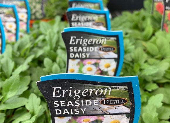 Erigeron - Seaside Daisy punnet