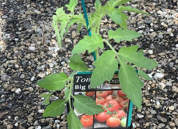Tomato - Big Beef ADVANCED