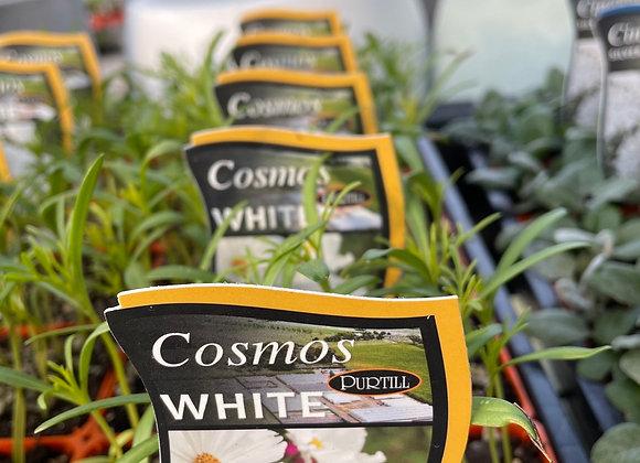 Cosmos - White punnet