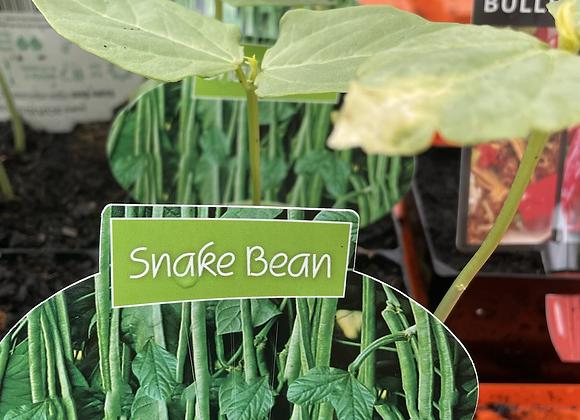 Snake Bean - 100mm square pot SEMI ADVANCED