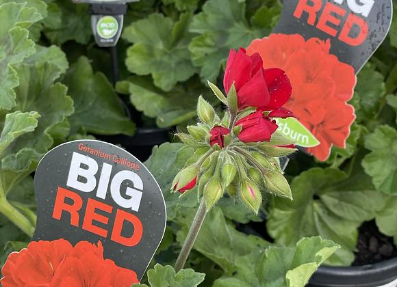 Geranium - Big Red