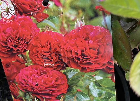 Bush Rose -  Bordeaux 20cm pot