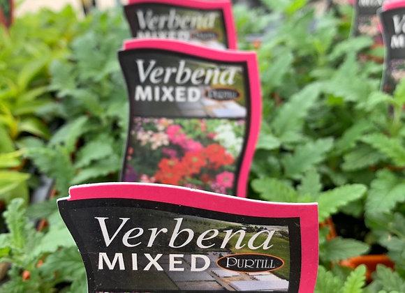 Verbena - Mixed punnet