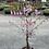 Thumbnail: Prunus First Blush 25cm pot Upright Flowering Cherry