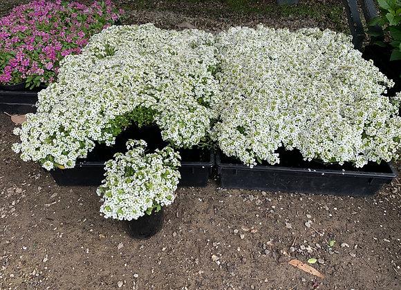 White Allysum - Bloomer Pots