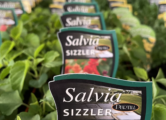Salvia - Sizzler punnet mixed colours