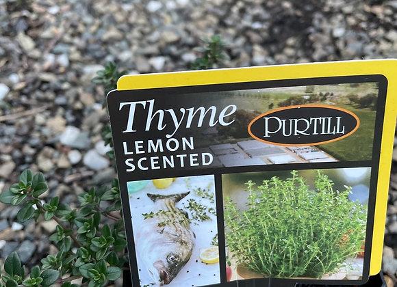 Thyme Lemon Scented - 100mm square pot SEMI ADVANCED