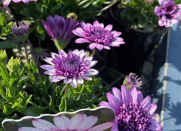 Osteospermum - 3D Violet Berry 14cm pot
