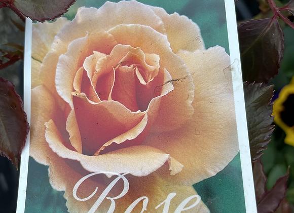 Bush Rose -  Just Joey 20cm pot