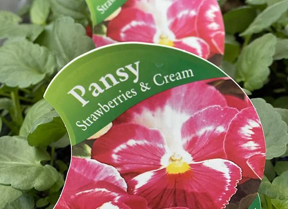 Pansy-Strawberries and Cream