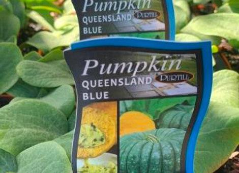 Pumpkin - Queensland Blue punnet