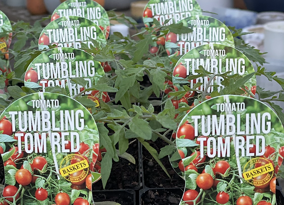 Tomato - Tumbling Tom Red ADVANCED